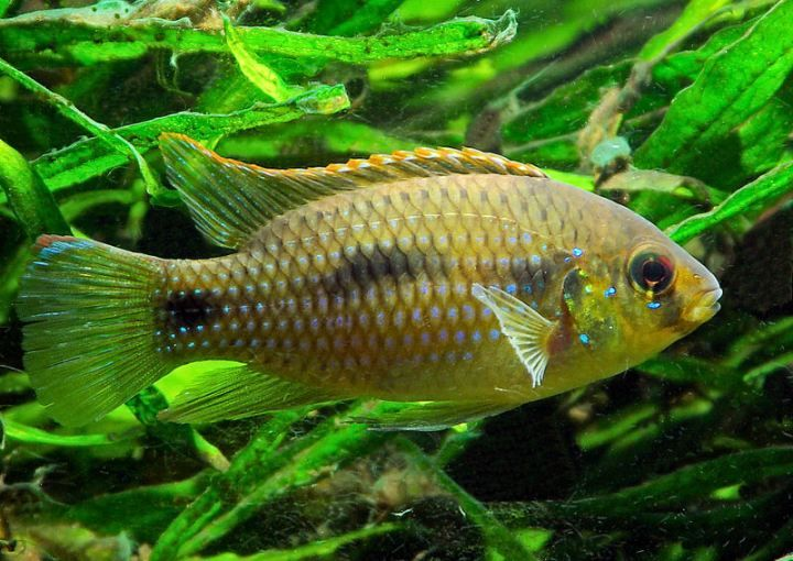 108 best african freshwater fish catalog images on for Butterfly fish freshwater