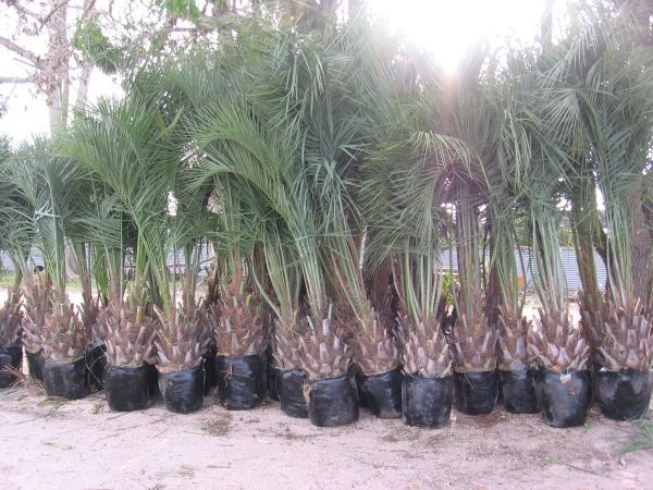 Check Out Http Southtexaspalms Com Home Page Palms