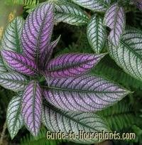 persian shield, persian shield plant