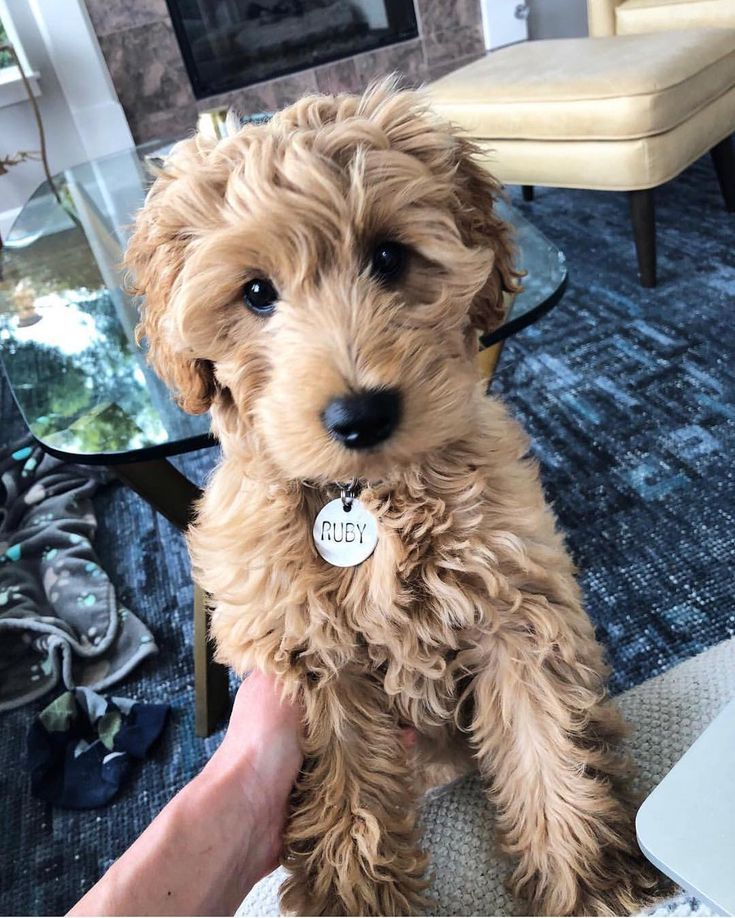 12 Fascinating Facts About The Goldendoodle A Designer Breed