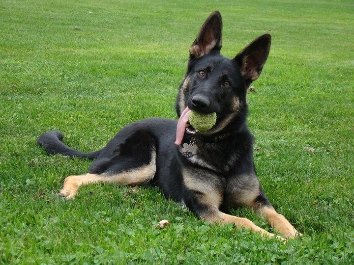 My beautiful German Shepherd Eva.