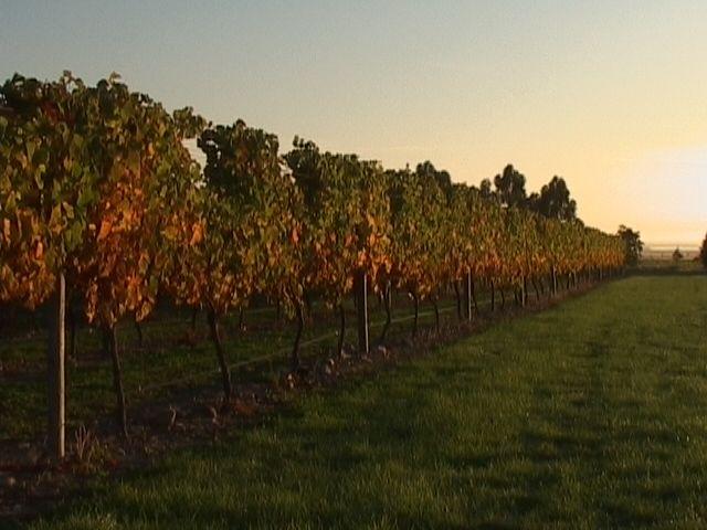 Mount Riley vineyard in Autumn