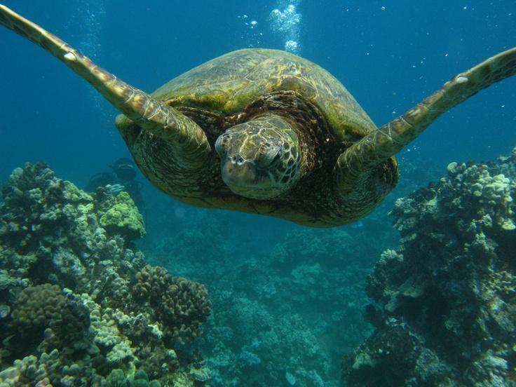Sea turtle (a big one...) in Maui - Hawaii