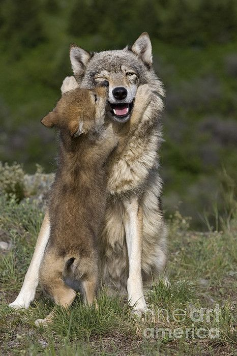 "her-wolf: "" Wolf Cub Begging For Food by Jean-Louis Klein & Marie-Luce Hubert """