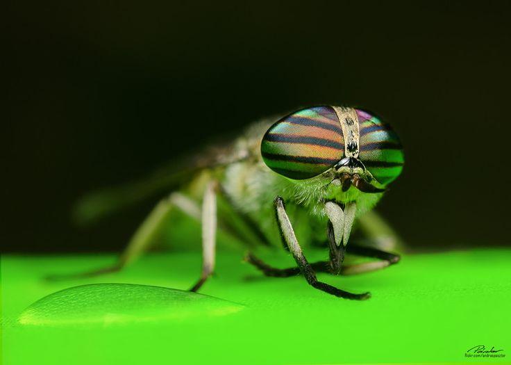 Tabanus Horsefly (female) by András Pásztor on 500px