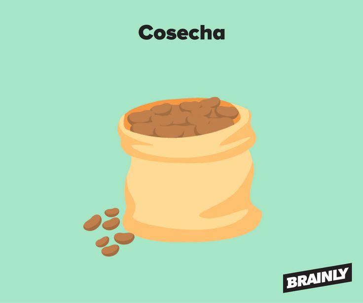 Cosecha de los granos de cacao