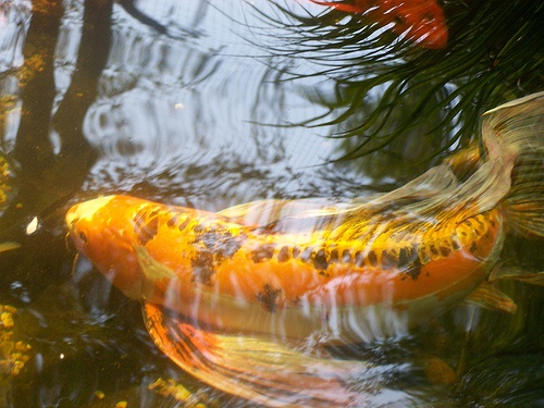 55 best images about koi fish on pinterest blue ponds for Koi homburg