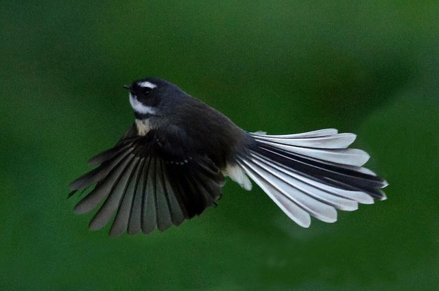 DSC00289  Fantail  Flying  Kuku Rd_edited-1 by levinbirder, via Flickr