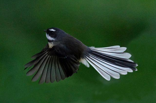 DSC00289 Fantail Flying Kuku Rd_edited-1 by levinbirder, via Flickr