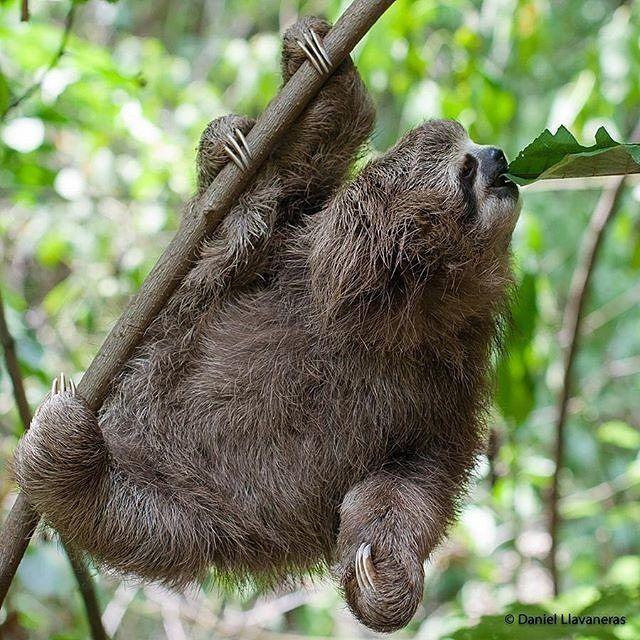 La pereza de tres dedos es uno de esos animalitos que todos conocemos y tal vez hayamos visto al menos una vez en la vida.  De vez en cuando se les puede ver en zonas arboladas en las ciudades así que somos vecinos.  Ellas se alimentan de las hojas de algunos árboles como el yagrumo o la ceiba y bajan al suelo solo para cambiarse de árbol o para defecar lo cual hacen justo en la la parte baja del tronco.  Por eso si ves una pereza en el suelo es probable que no necesite ayuda y tenga todo…