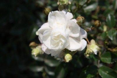 Růže Noel