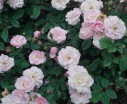 Rosa 'Blush Noisette' Great rose info