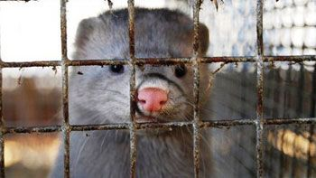 Visoni da armadio mai più,Lav in piazza per vietare l'allevamento di animali da pelliccia