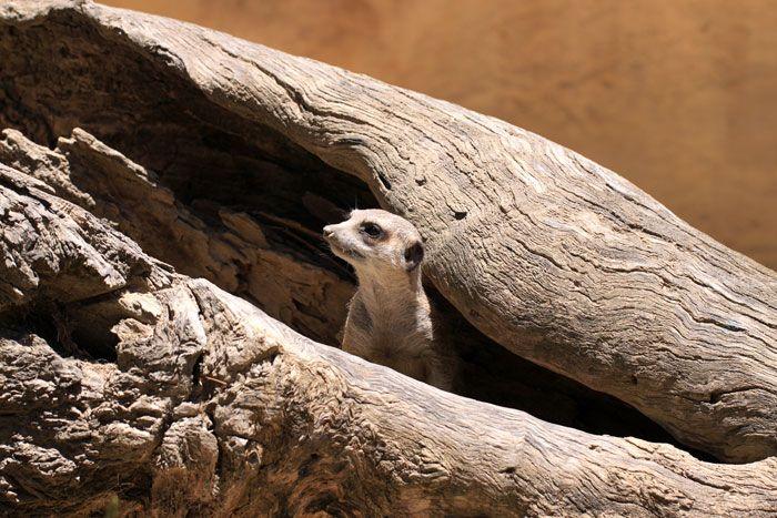 Meerkat Suricate in Adelaide http://www.genders.com.au/