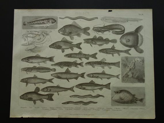 Old pictures of fishes tuna plaice morays by DecorativePrints