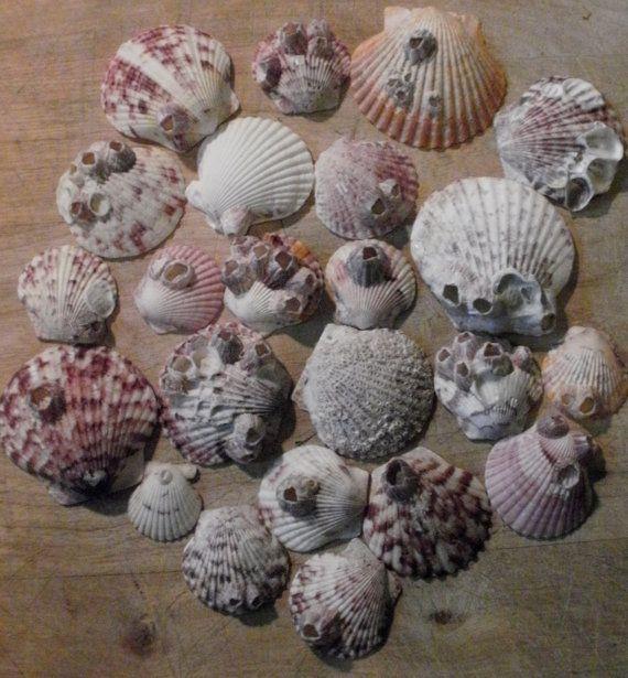 20 Barnacle Encrusted Calico Scallop by LocalOceanTreasures