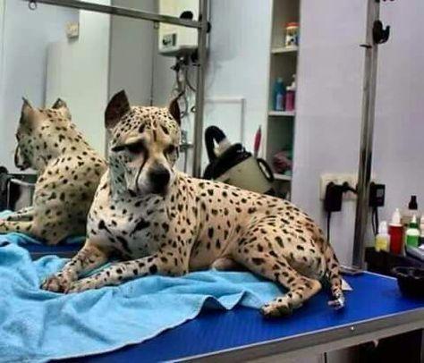 Albanischer Pitbull. Vielleicht der schönste Hund, den ich je gesehen habe   – Dogs are awesome!!!