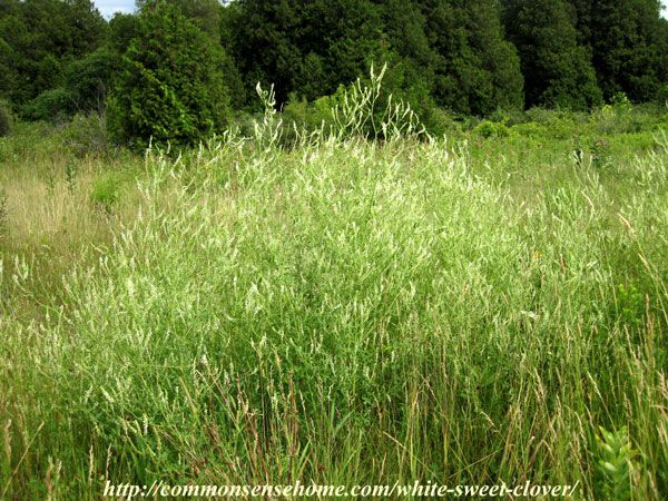 White Sweet Clover - Melilotus alba - Weekly Weeder #49 - Range and Identification; use as wildlife habitat; medicinal, food and other uses....for the bees :)