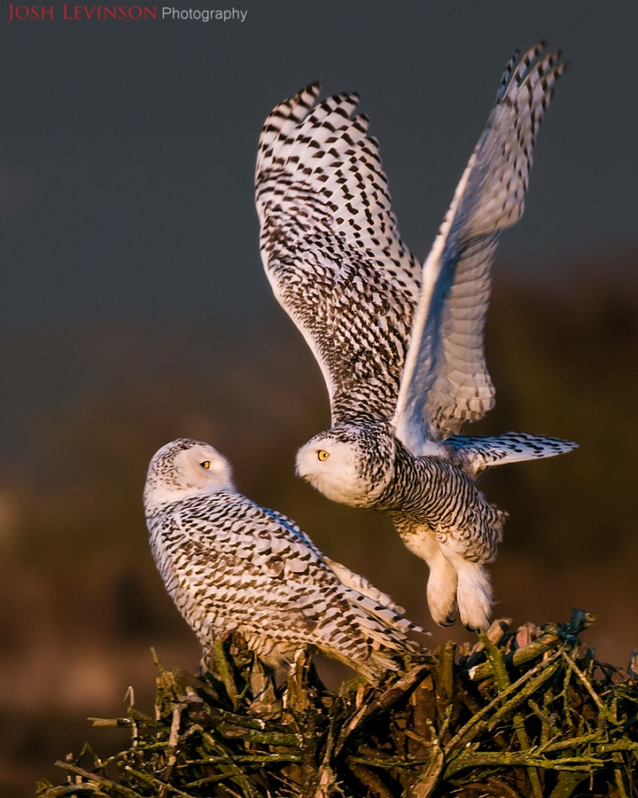 Two beautiful Snowy Owls.  Wildlife and Bird Photography by Josh Levinson.