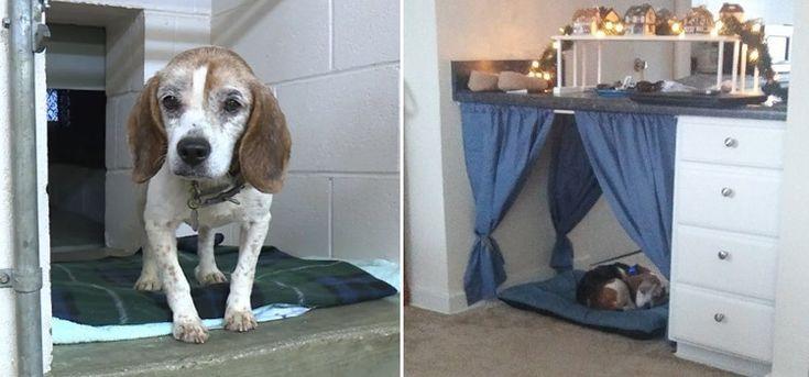 Un perro beagle anciano y enfermo de cáncer encuentra un dulce hogar para la que podría ser su última Navidad