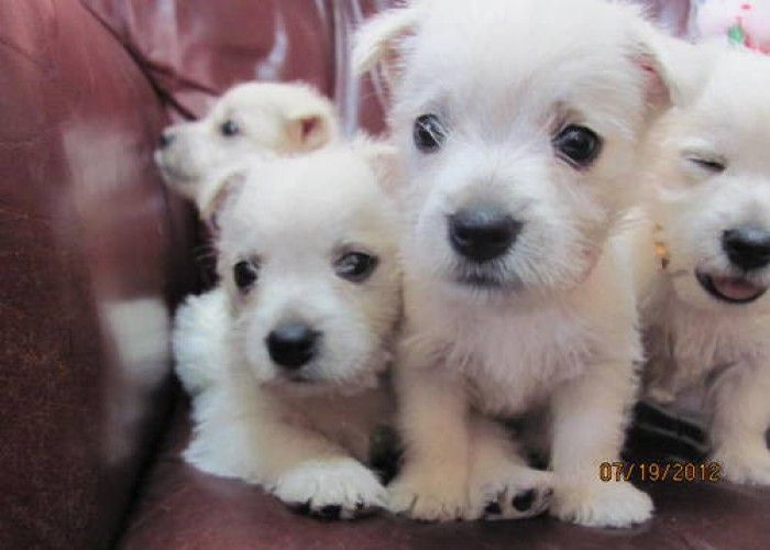 AKC West Highland White Terriers ~ Westie ~ Puppies for Sale in Russellville, Arkansas Classified | AmericanListed.com