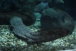 Chinese giant salamander - Wikipedia, the free encyclopedia