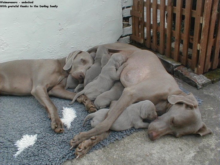 weimaraners :)  These are the best dogs ever!!
