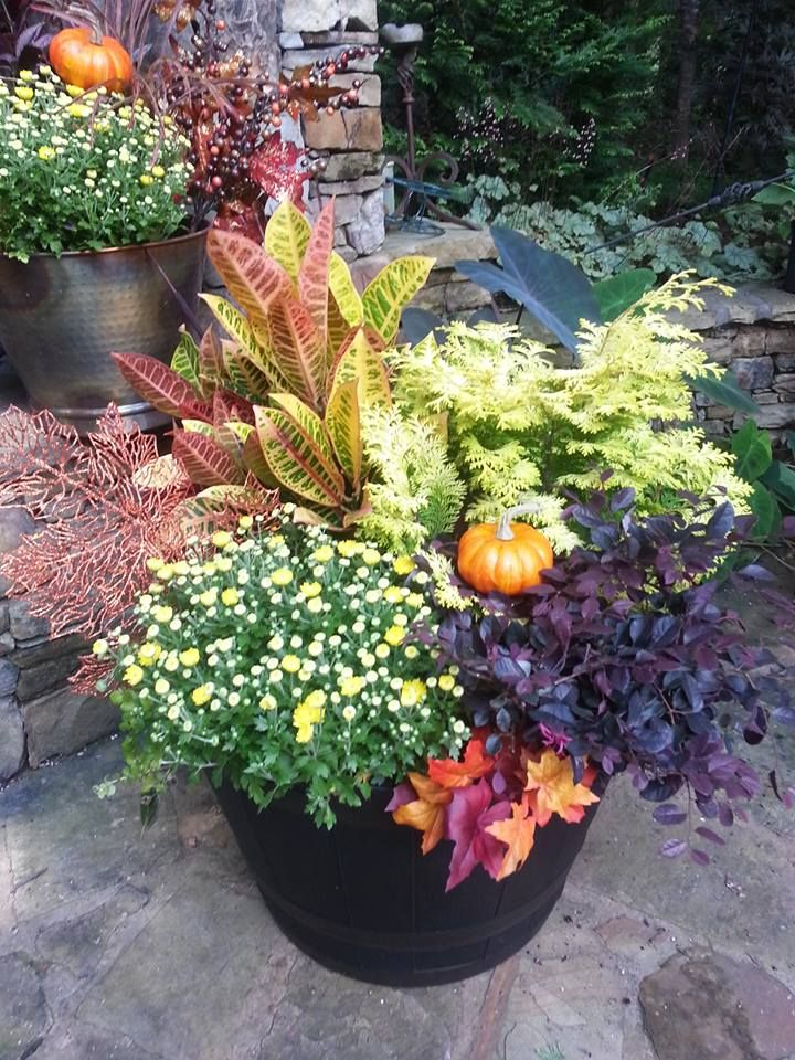 Whiskey Barrel Planter ~ contains Sungold cypress, Purple diamond loropetalum, croton, creeping jenny & yellow pansies (replaced the mums in the photo). This is a statement piece!  By The Garden Artist, Atlanta, GA.
