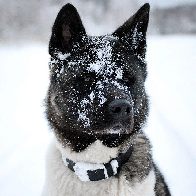 1000 images about akita my favorite dogs on pinterest