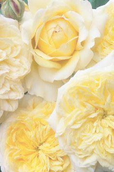 Find This Pin And More On Soft Yellow Pale Roses My Very Favorite Flower