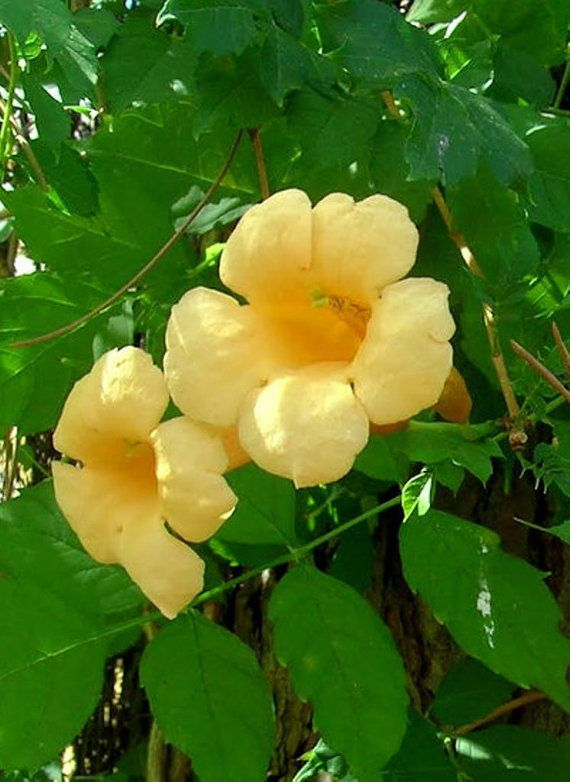 Hoping To See A Lot Of New Growth On My Yellow Trumpet Vine Up It S Trellis