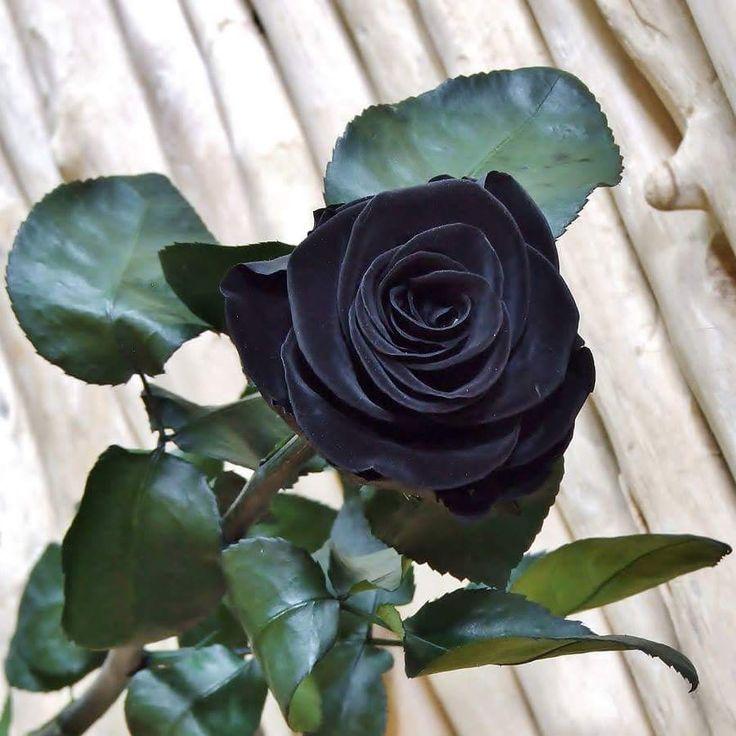 linda rosa negra