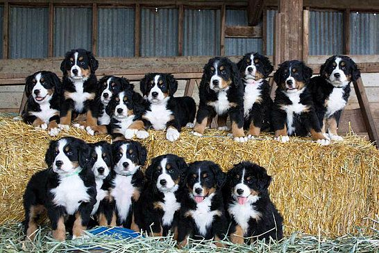 Our Bernese Mountain Dog Puppies
