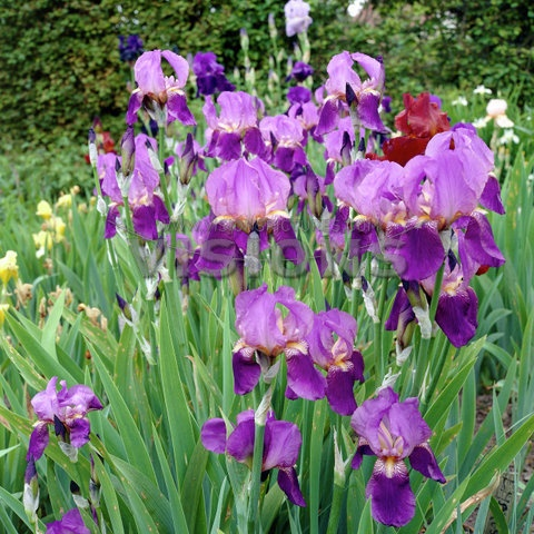 iris x germanica bearded iris rated by as one of the best perennials for cutting. Black Bedroom Furniture Sets. Home Design Ideas