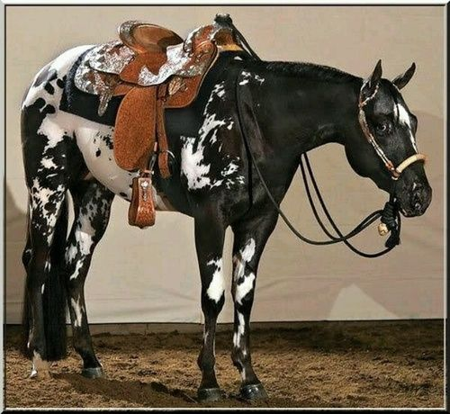 Gorgeous Appaloosa with Lightning Strikes (white spots or streaks on the legs - which are typical of that breed) Western saddle and tack. Mostly dark black horse with the white spots and markings.