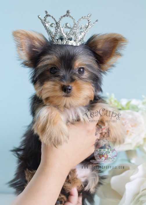 Toy Yorkie puppy for sale by TeaCupsPuppies.com    #toyyorkie #yorkie #yorkiepuppy #yorkiebreeder #puppy #yorkieforsale #puppyforsale #puppiesforsale #yorkiesforsale