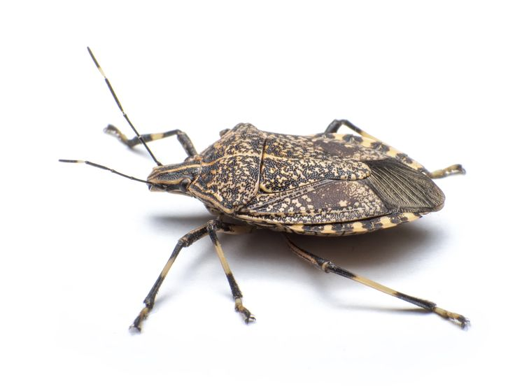 Learn what to do about those creepy, smelly bugs invading your home or garden!