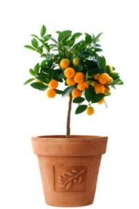 This is a guide about growing fruit trees in pots. In cooler climates or homes with no garden space, it is often preferable to plant fruit trees in pots.