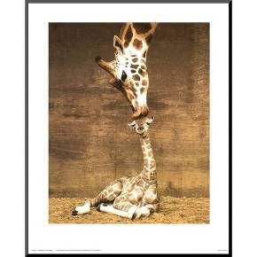 <p>Every first kiss should be as sweet as the <strong>Art.com Giraffe, First Kiss Poster</strong> by Ron D'Raine. This wall hanging is probably one of the sweetest nature prints every with a mother giraffe reaching down to kiss her sweet baby, who cranes his neck upward in response. The amazing brown and white printed pelt of the giraffe takes center stage while a warm neutral wood serves as the backdrop. Decorate your home wit...