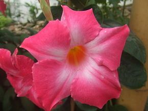 Adenium est un genre de plante à fleurs ne contenant qu'une seule espèce, Adenium obesum (la Rose du désert), et cinq sous espèces. Elle est aussi appelée Baobab chacal, Lis des Impalas, Sabi Star ou Kudu.