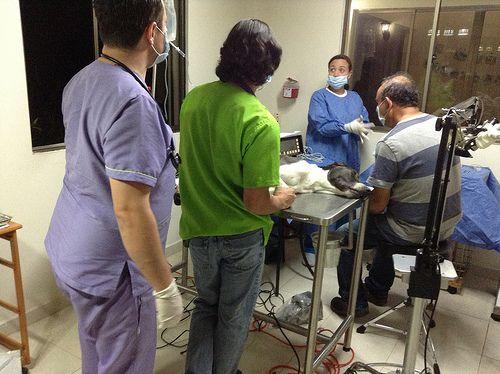 Operación de Cataratas. Por primera vez en el Eje Cafetero, se realizó una operación de cataratas en un perro, gracias a la unión del Médico Veterinario especialista en anestesiología, David Fernando Latorre y el Médico Oftalmólogo especialista en cirugía refractiva, Víctor Vélez.