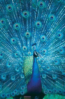 Brilliant Turquoise Peacock