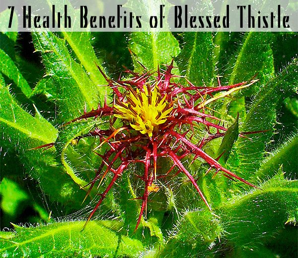 Blessed thistle (Cnicus benedictus; also known as Holy Thistle or St. Benedict's Thistle) is a small, annual herb native to the Mediterranean and naturalized in North America. Often referred to as ...