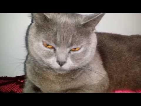Scary Cat Vampire Dracula's Cat
