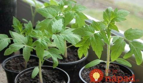 Sadenice paradajok neboli nikdy také silné a zdravé: Toto jednoduché riešenie funguje ako malý zázrak a pomôže aj proti pelsni!