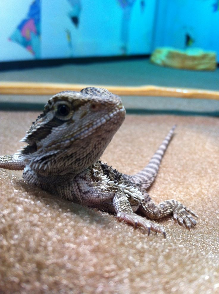 Bearded Dragon Wizard Wwwimagessurecom