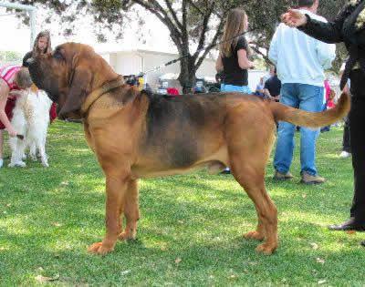 Bloodhound  St. Hubert Hound, Sleuth Hound, Flemish Hound