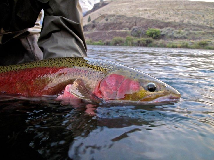 Steelhead deschutes river oregon all things fly for Oregon steelhead fishing