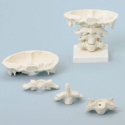 Modelo anatómico da cervical alta com suporte.