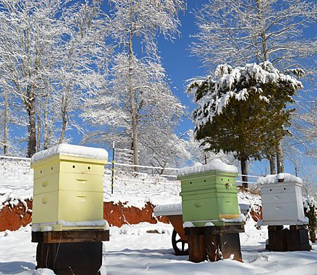 How do honeybees survive winter ? What do bees do in winter ? Carolina Honeybees Farm